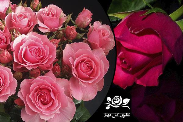 بهارگل-گل رز-ملکه گل ها نمادی از عشق