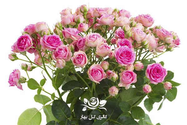 بهارگل-گل رز-گل رز ملکه گل ها