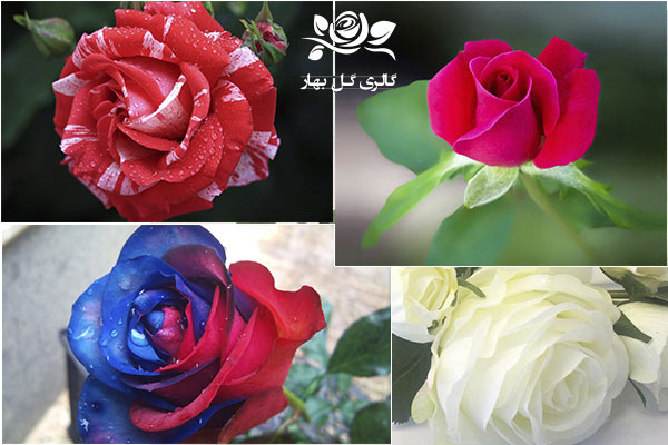 بهار گل-گل رز-گل رز سفید، گل رز آبی ، گل رز دو رنگ ، رز فانتزی