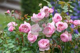 بهارفلاور | گل رز انگلیسی