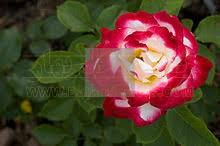 بهارفلاور| گل رز چای