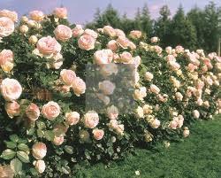 بهارقلاور|گل رز کوهستان